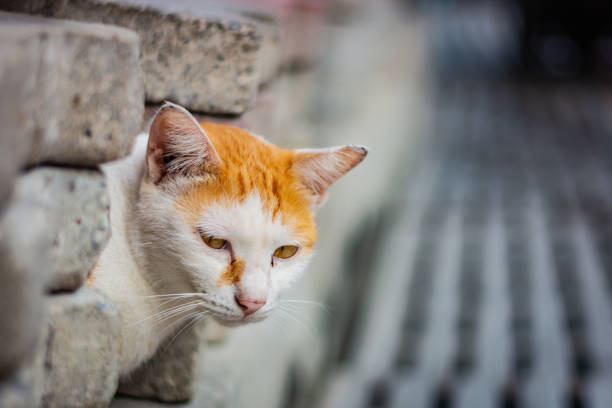 White-and-ginger cat looks from behind a gray wall and looks ahead, cat's yellow eyes, gray blurred background – zdjęcie