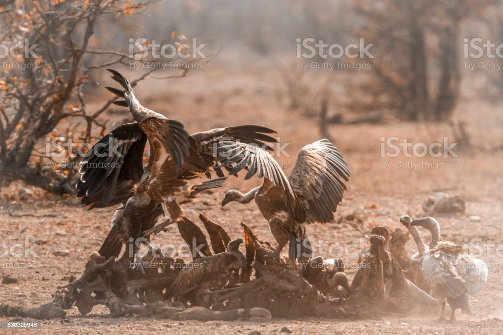 White-backed Vulture and Lappet-faced Vulture in Kruger National park, South Africa stock photo