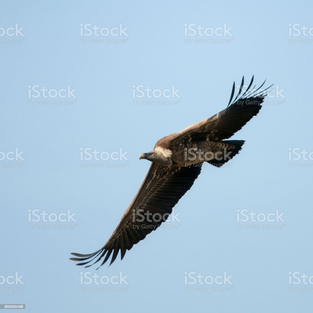 White-backed Vulture flying in Serengeti National Park, Tanzania, Africa stock photo