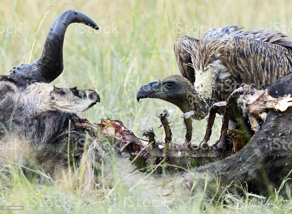 White-backed Vulture in the savannah stock photo