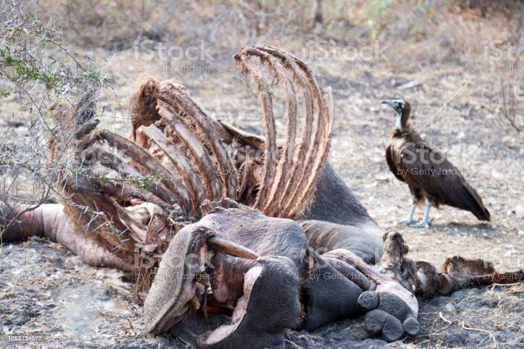 Vautour (Gyps africanus) près de la cage thoracique d'un hippopotame mort - Photo