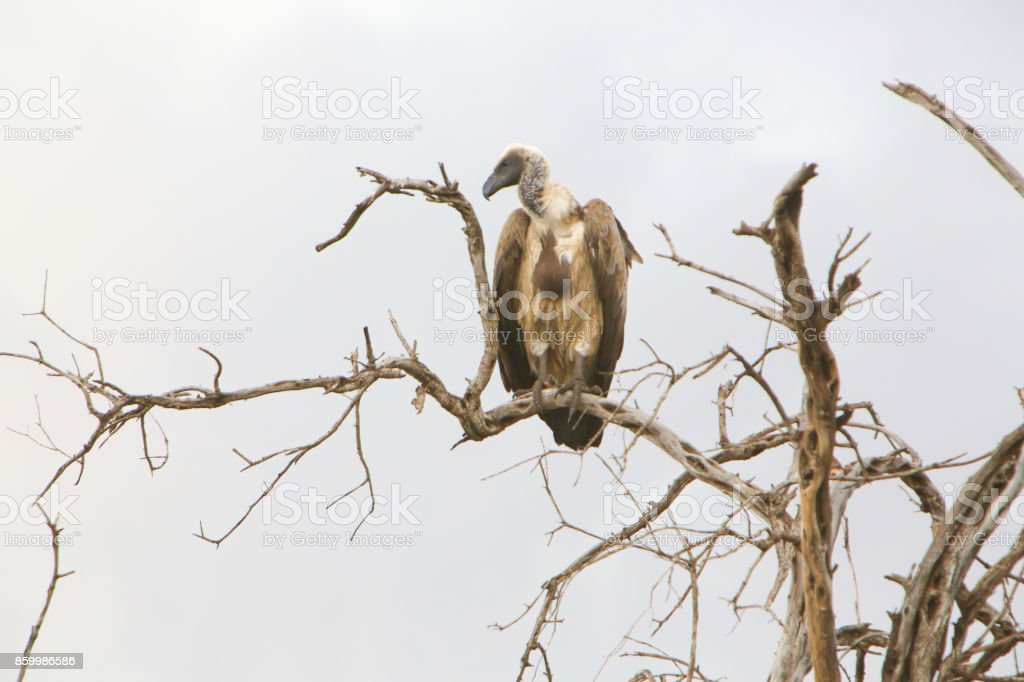 White-backed vulture on a tree in the Masai Mara National Reserve in Kenya. stock photo