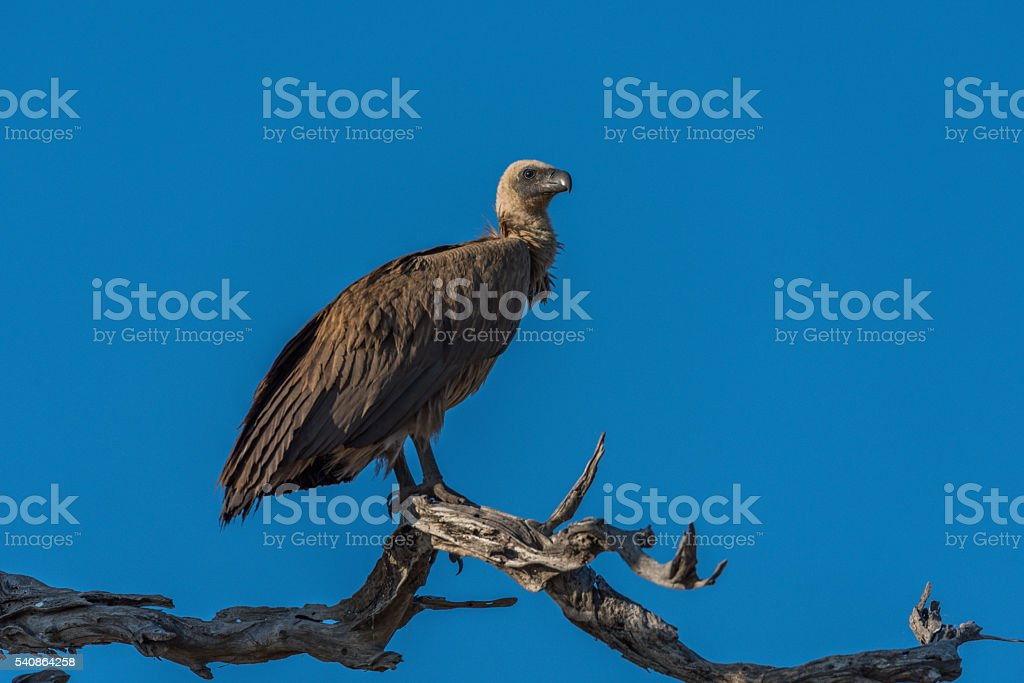 White-backed vulture on dead branch facing right stock photo