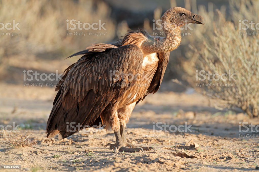 White-backed vulture on the ground stock photo