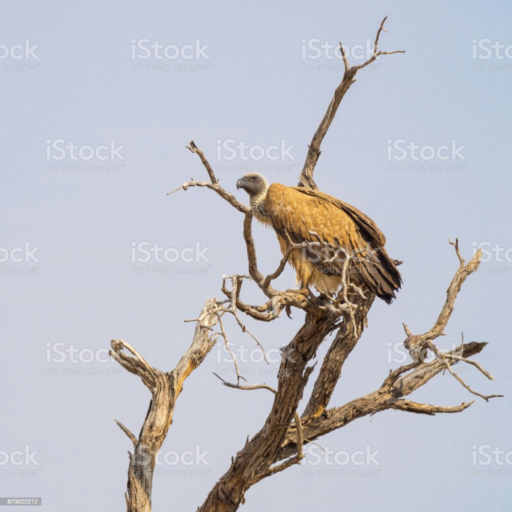 White-Backed Vulture on Tree stock photo