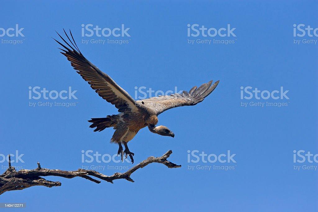 Whitebacked Vulture stock photo