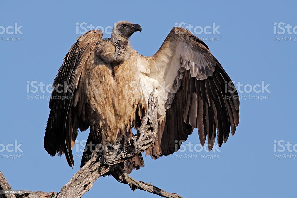 White-backed vulture royalty-free stock photo