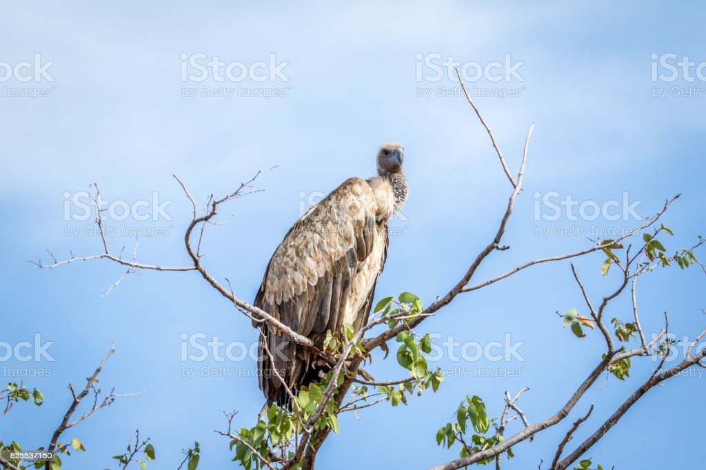 White-backed vulture sitting in a tree. stock photo