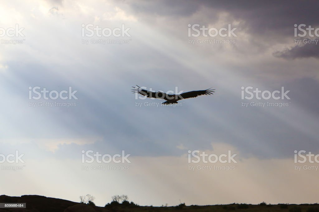 White-backed vulture soaring over the Masai Mara National Reserve in Kenya. stock photo