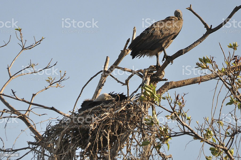 White-backed Vulture with chick stock photo