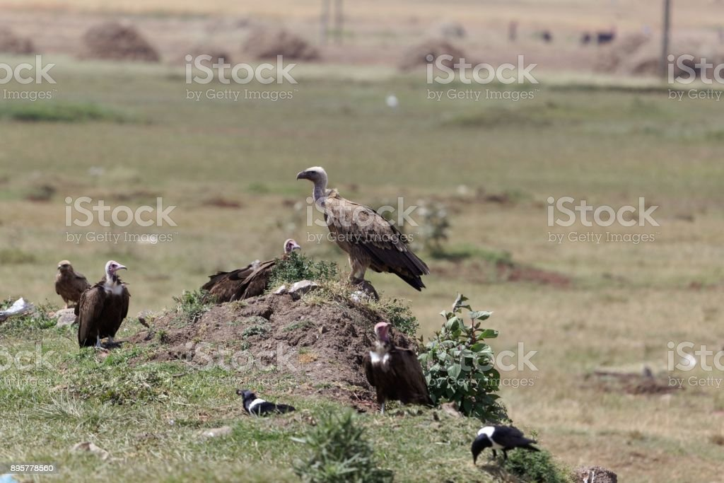 White-backed Vulture (Gyps africanus) with Hooded Vultures (Necrosyrtes monachus) stock photo
