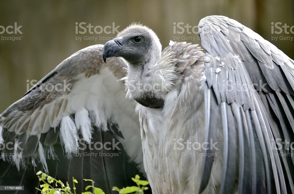 White-backed Vulture with open wings stock photo