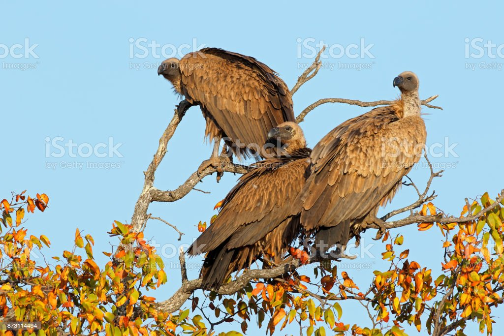 White-backed vultures in a tree stock photo
