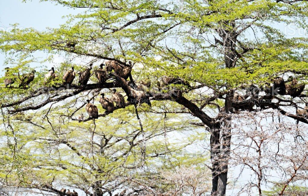 Vautours à dos blanc (Gyps africanus) dans l'arborescence de l'acacia - Photo