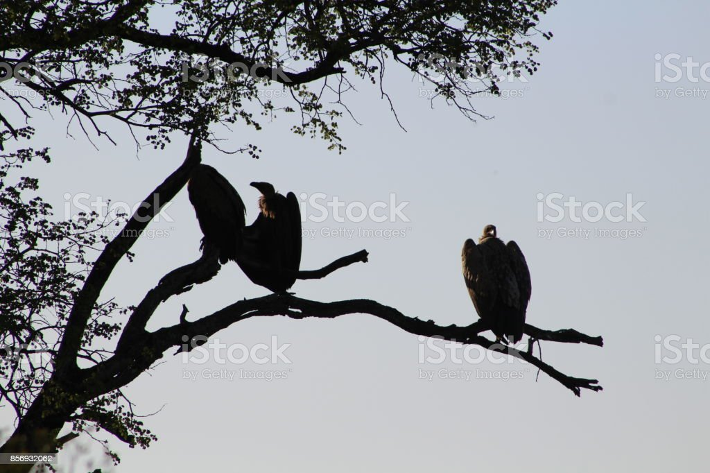 White-backed Vultures stock photo