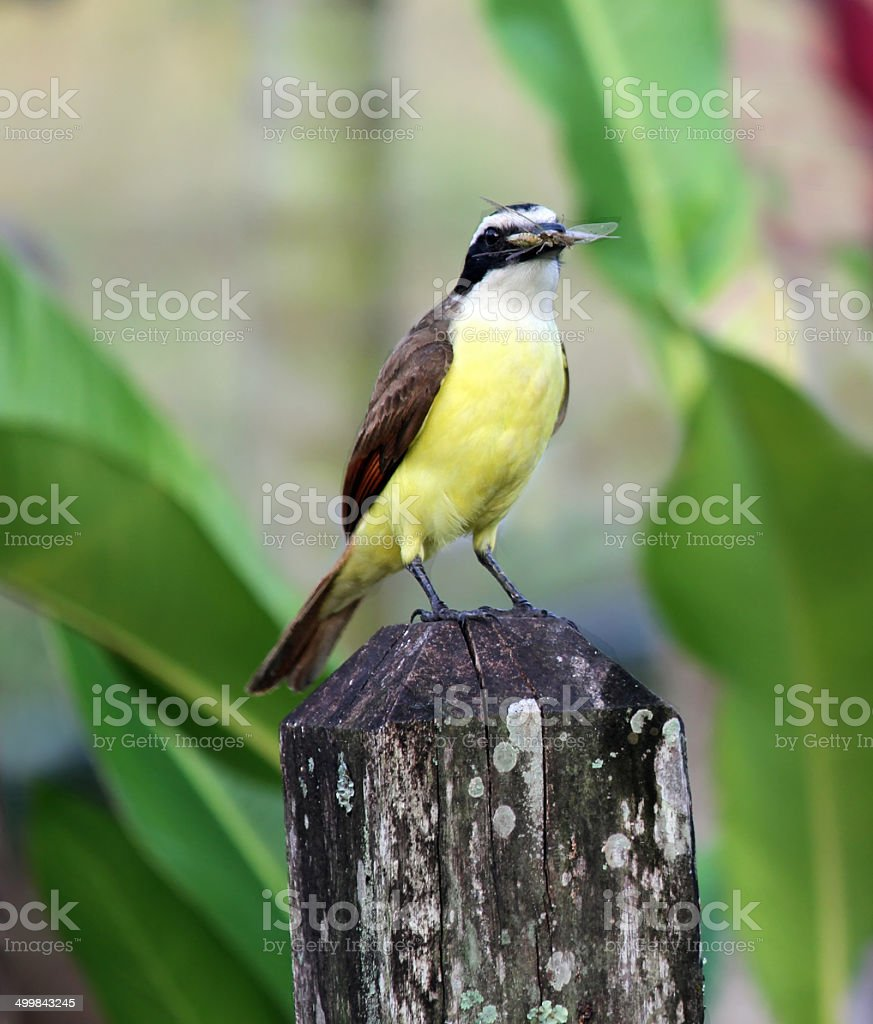 White-bearded Flycatcher With Insect in Mouth royalty-free stock photo