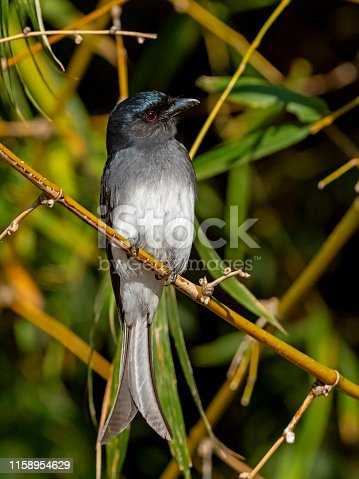 Medium sized grey colored bird with a pale chest