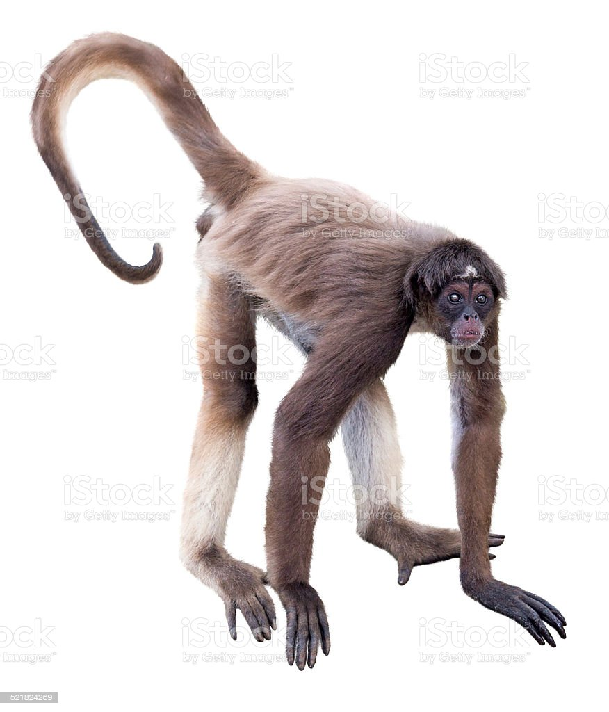 Whitebellied Spider Monkey Stock Photo More Pictures Of Animal