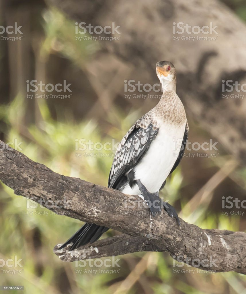 White-Breasted Cormorant - Royalty-free Animal Stock Photo