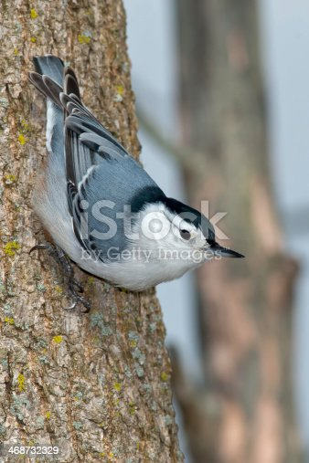 White-breasted Nuthatch climbing down a tree.