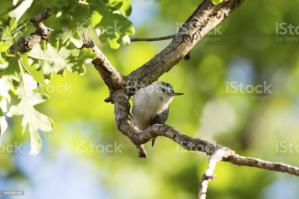 White-breasted Nuthatch royalty-free stock photo