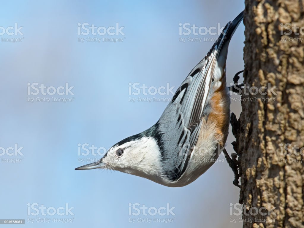 White-breasted Nuthatch stock photo