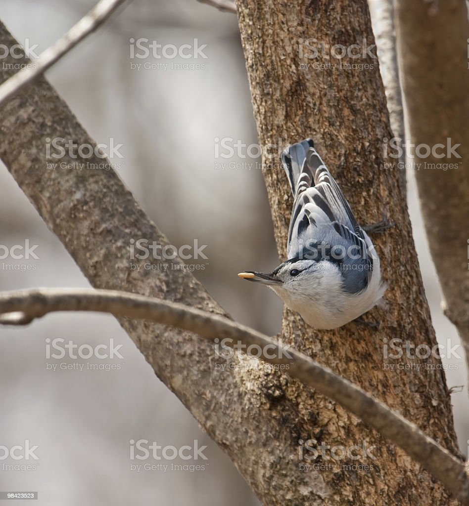 White-breasted Nuthatch, Siita carolinensis royalty-free stock photo