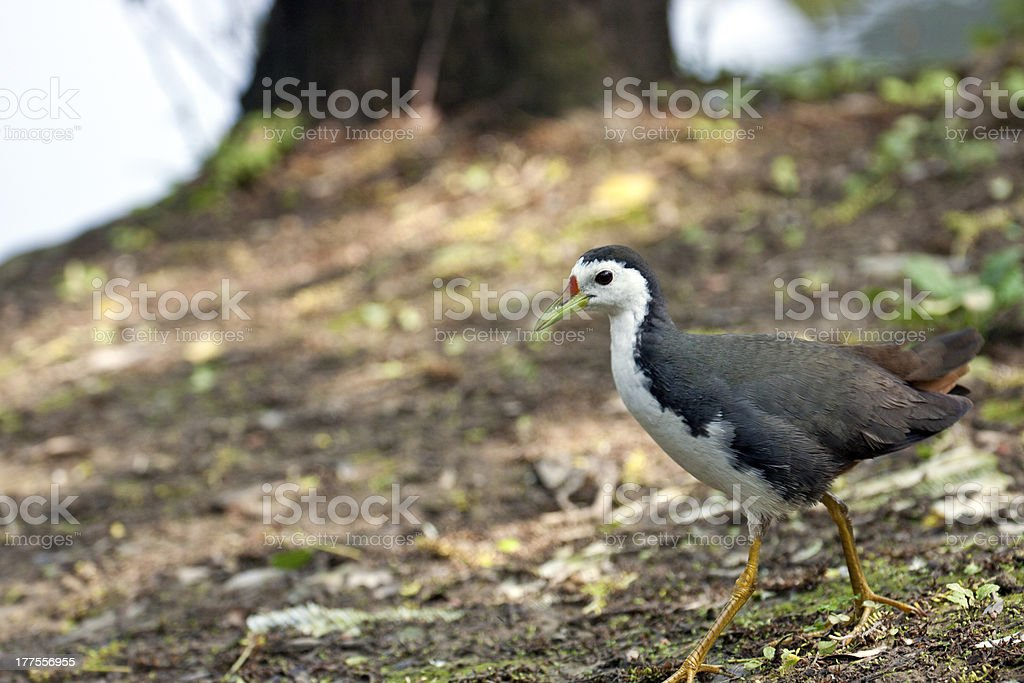 White-breasted Waterhen royalty-free stock photo