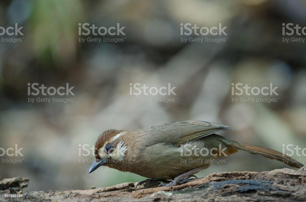 White-browed Laughingthrush bird (Garrulax sannio) stock photo