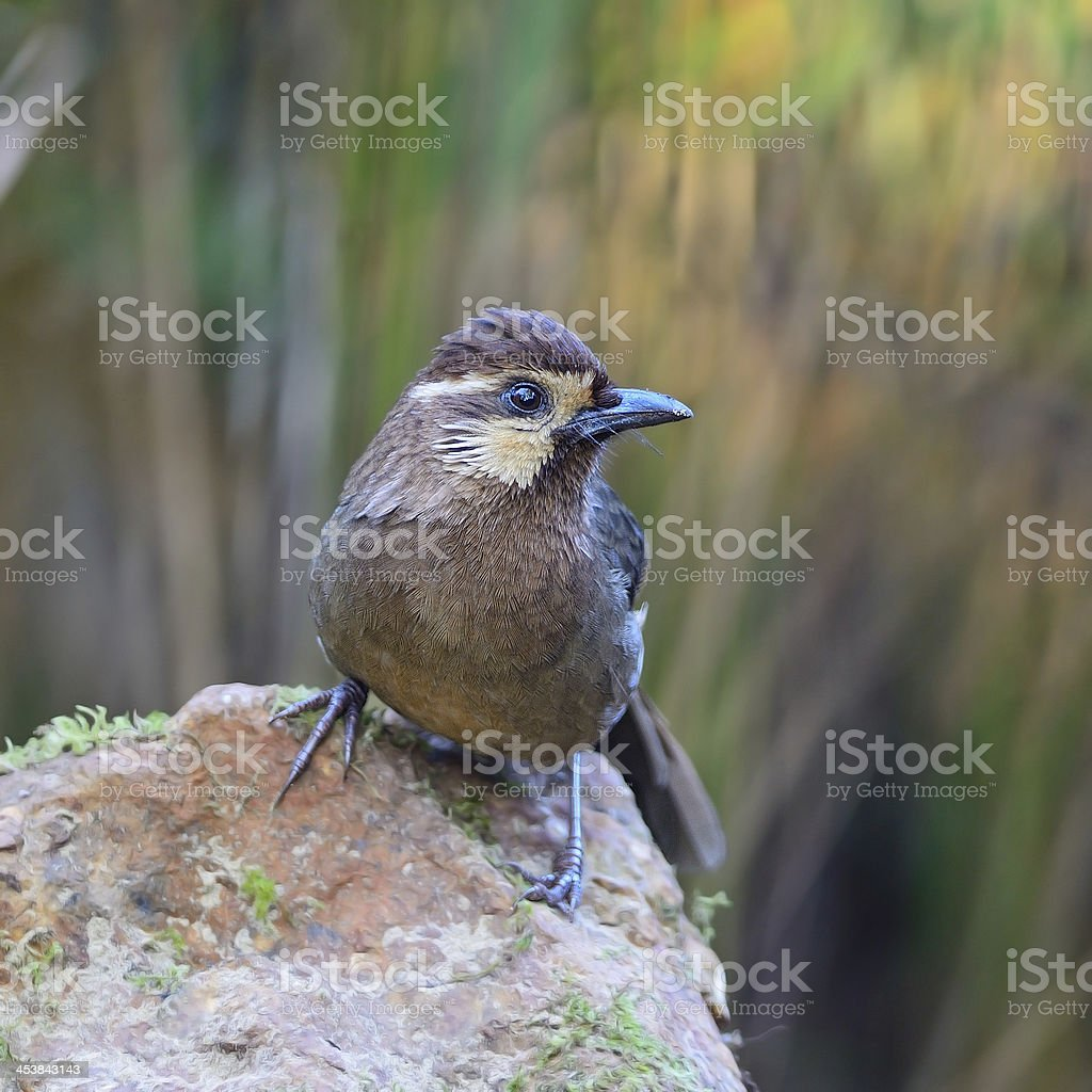 White-browed Laughingthrush royalty-free stock photo