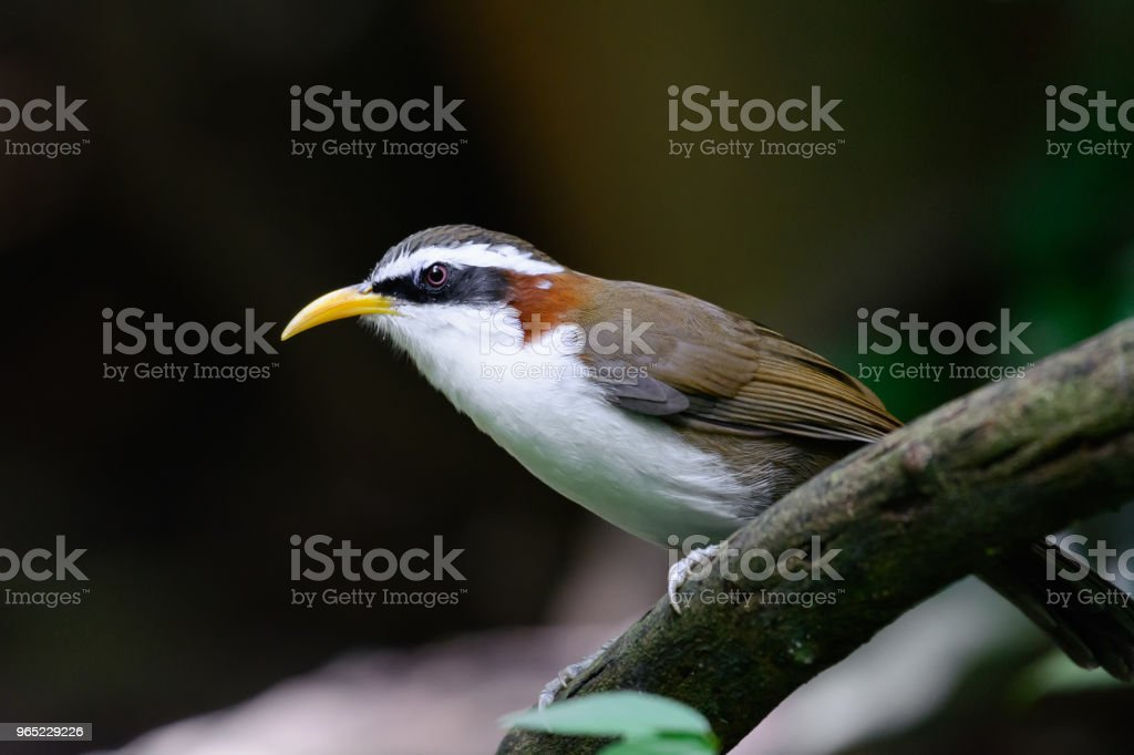 White-browed Scimitar Babbler zbiór zdjęć royalty-free