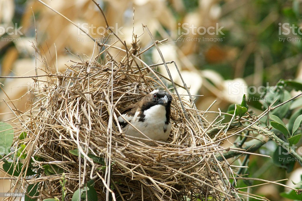 White-browed Sparrow-Weaver stock photo