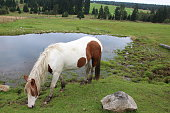 Horse grazing in a meadow,