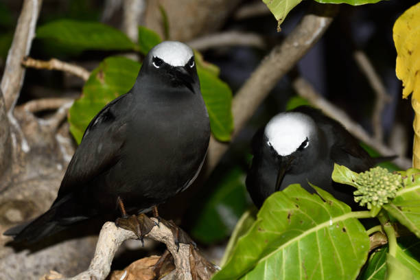 White-capped Noddy, Heron Island, Great Barrier Reef, Australia