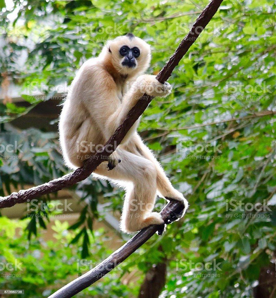 White-Cheeked Gibbon 2 stock photo