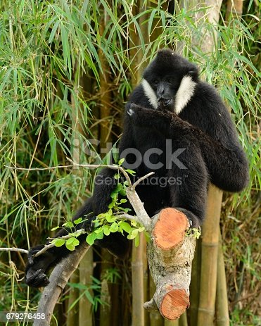 beautiful White-cheeked Gibbon (Hylobates concolor) sitting on branch