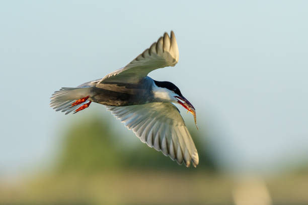 White-cheeked Tern in flight with a fish in it's beak flying in the Danube Delta stock photo