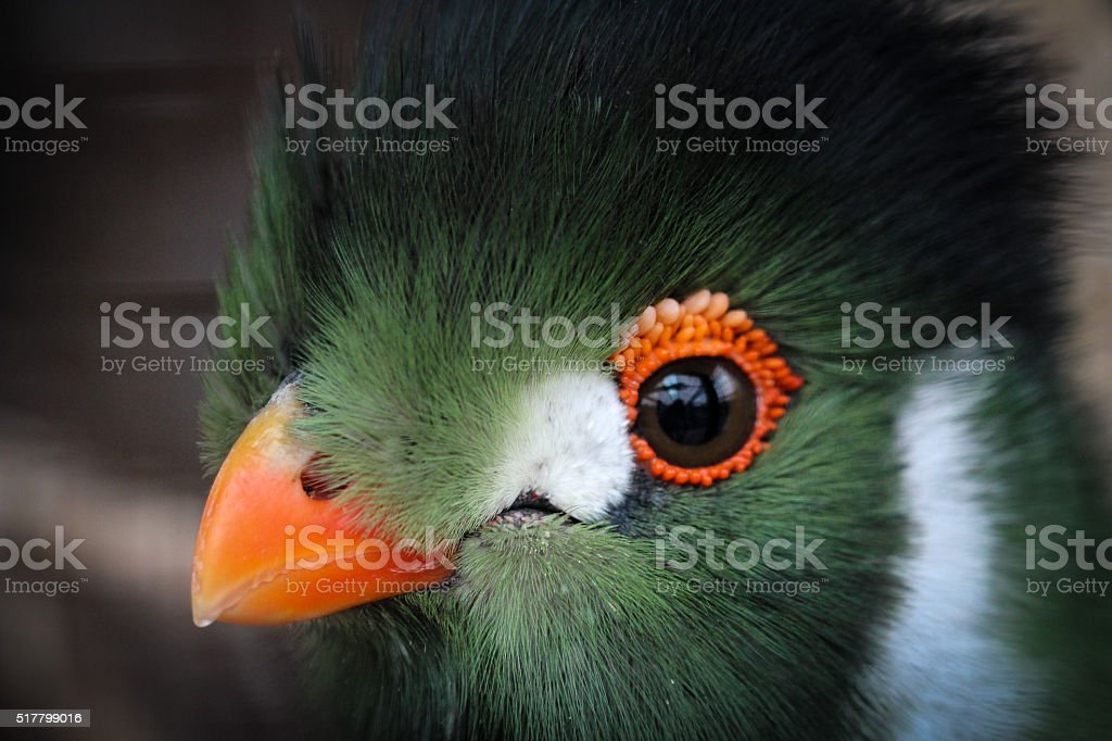 White-cheeked Turaco stock photo