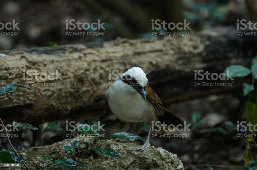 white-crested laughingthrush (Garrulax leucolophus) stock photo