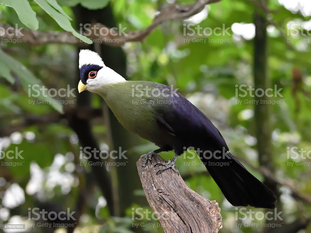 White-crested turaco (Tauraco leucolophus) stock photo