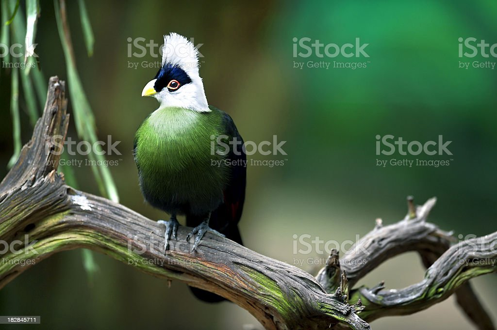 White-crested Turaco, Tauraco leucolophus stock photo