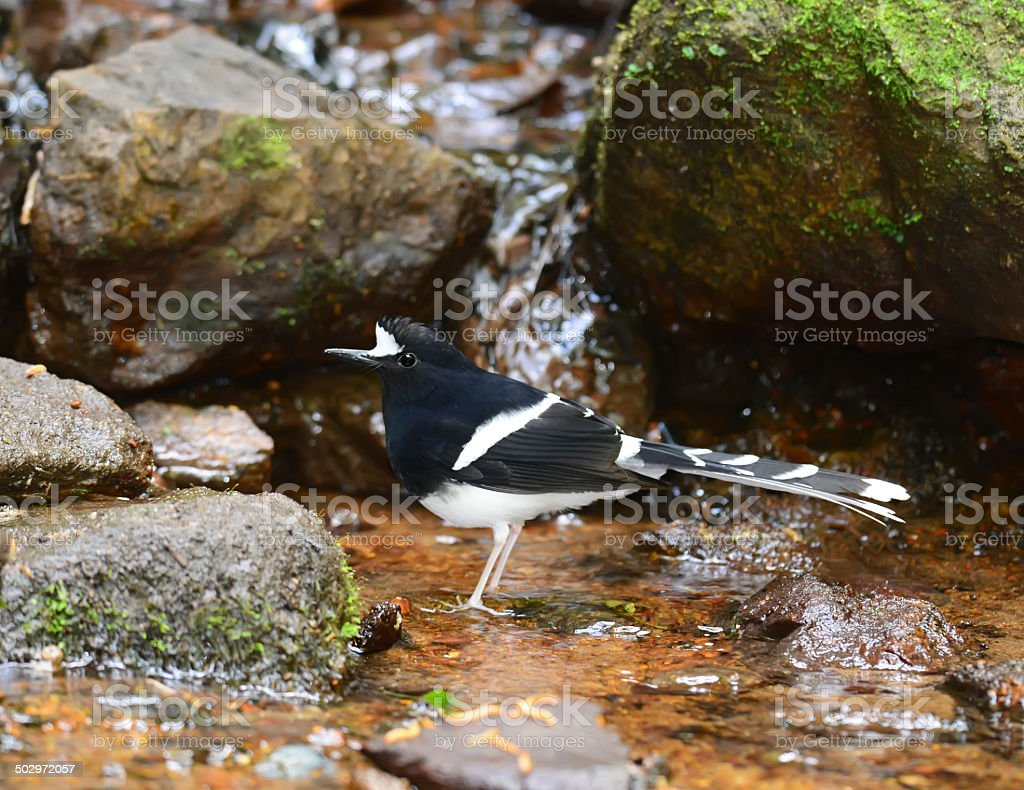 White-crowned Forktail ,nature in Thailand royalty-free stock photo
