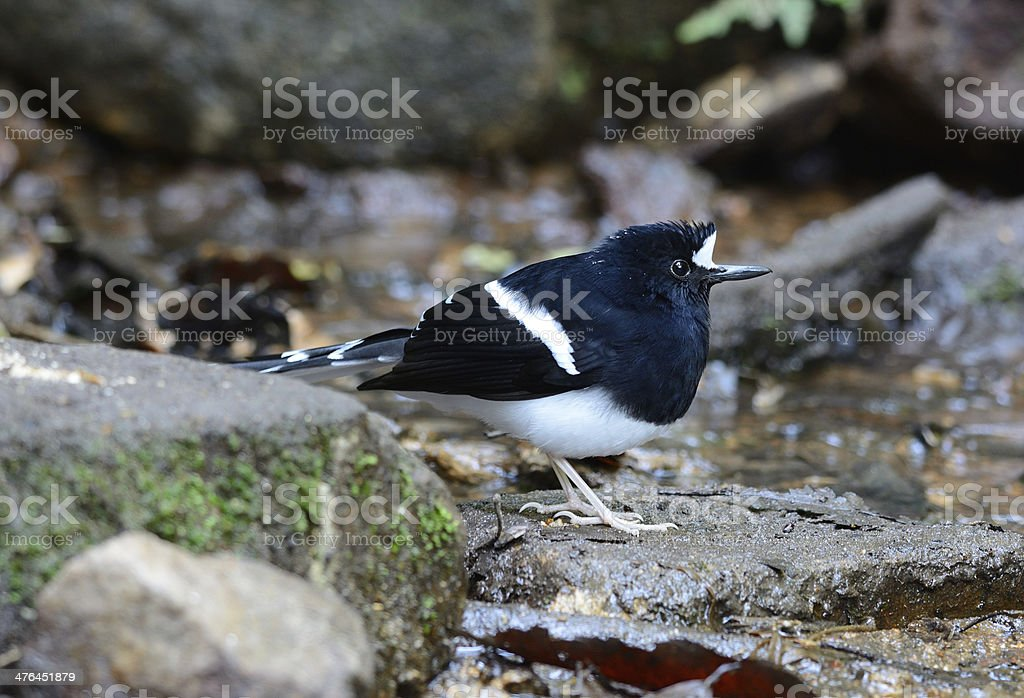 White-crowned Forktail (Enicurus leschenaulti) beautiful White-crowned Forktail (Enicurus leschenaulti) in Thai forest Animal Stock Photo