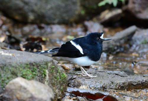Whitecrowned Forktail Stock Photo - Download Image Now
