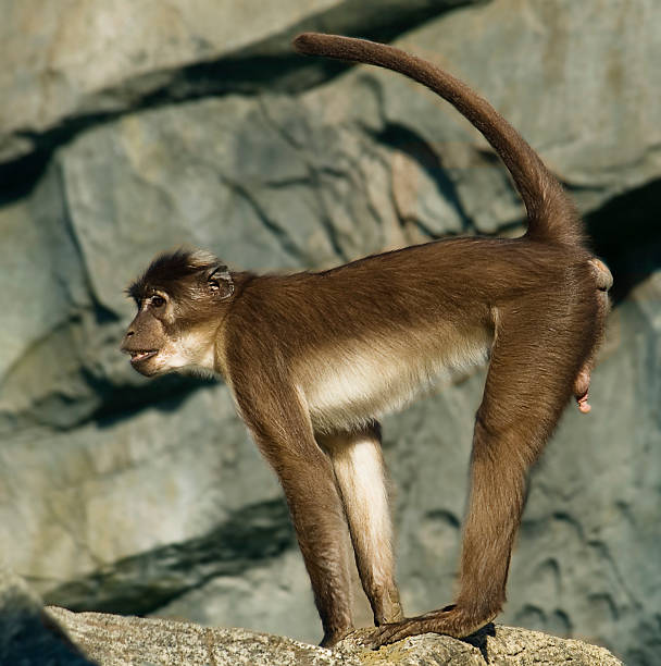 White.Crowned Mangabey in alert stock photo