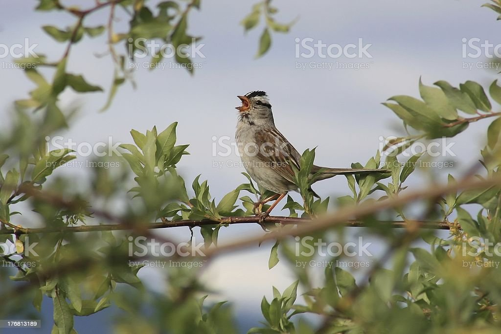 White-Crowned Sparrow singing in early July. stock photo