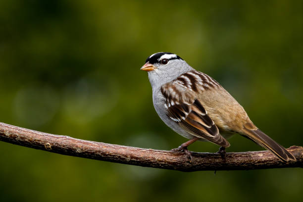 White-crowned Sparrow - Zonotrichia leucophrys stock photo