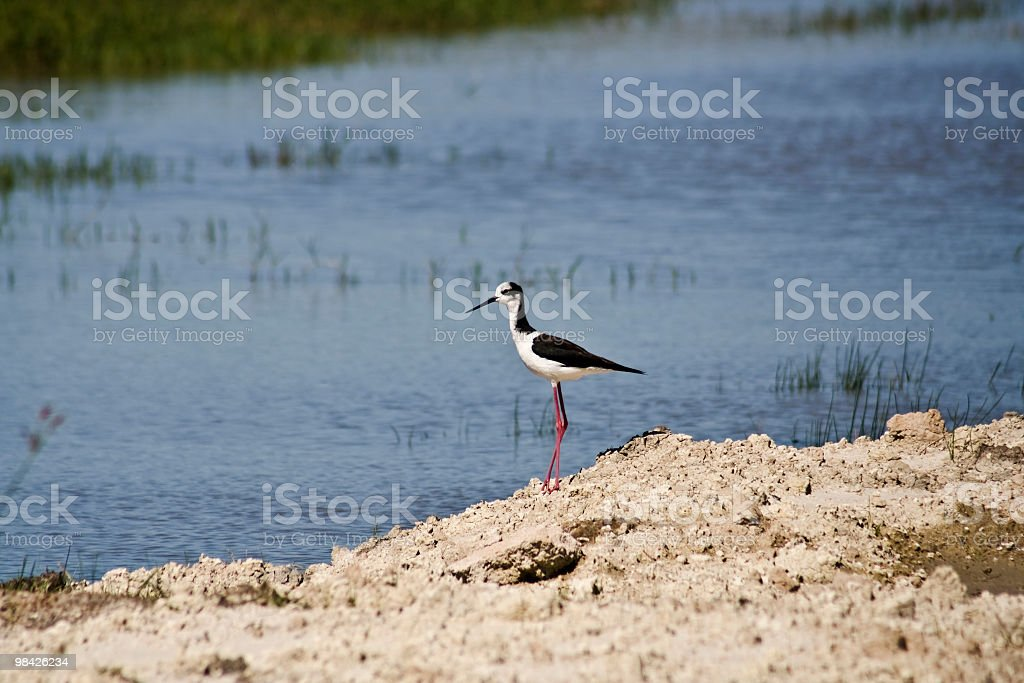 White-crowned Stilt royalty-free stock photo