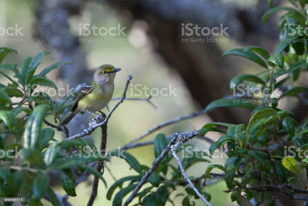 White-eyed Vireo foraging for insects in a Live Oak tree in a natural setting stock photo