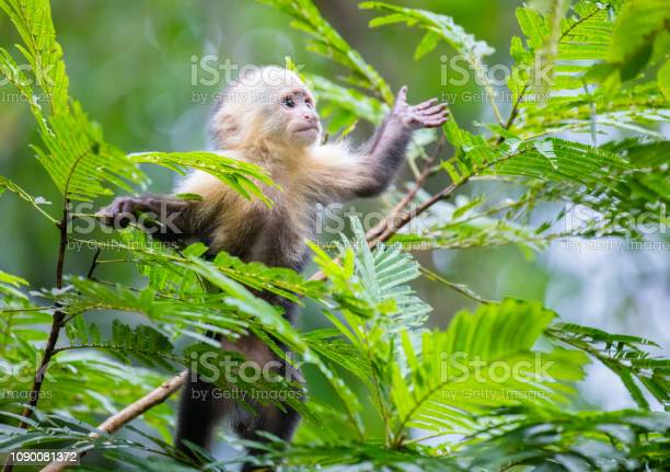 Whitefaced capuchin monkey baby in treetops at tortuguero national picture id1090081372?b=1&k=6&m=1090081372&s=612x612&h=783qlxam5otvrenfffmwbrkweo20yyejczgw9zzrspa=